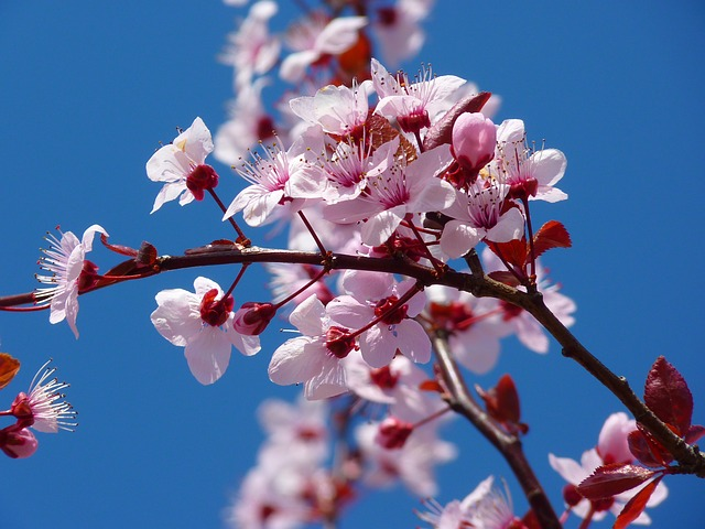 Don't Miss the Cherry Blossom Festival Parade on April 13